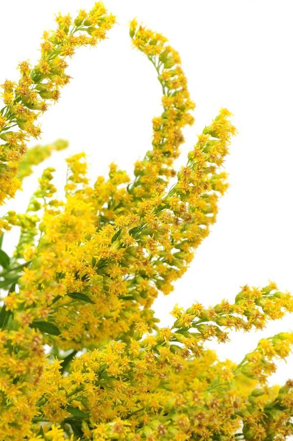加拿大开花菊科植物 库存照片