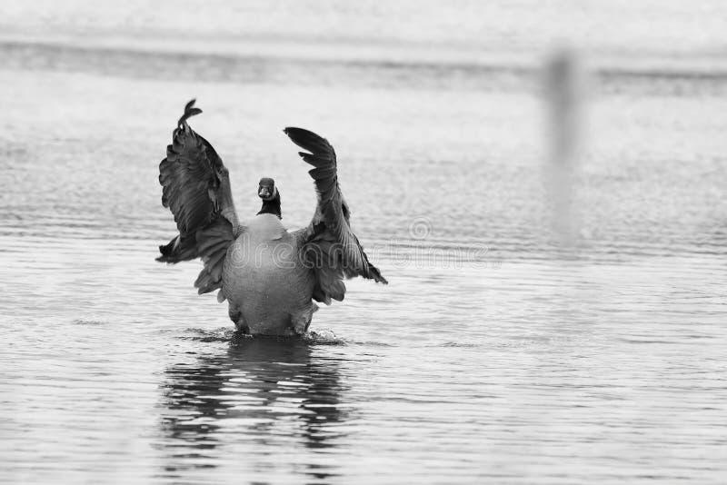 加拿大拍动鹅翼 免版税库存图片