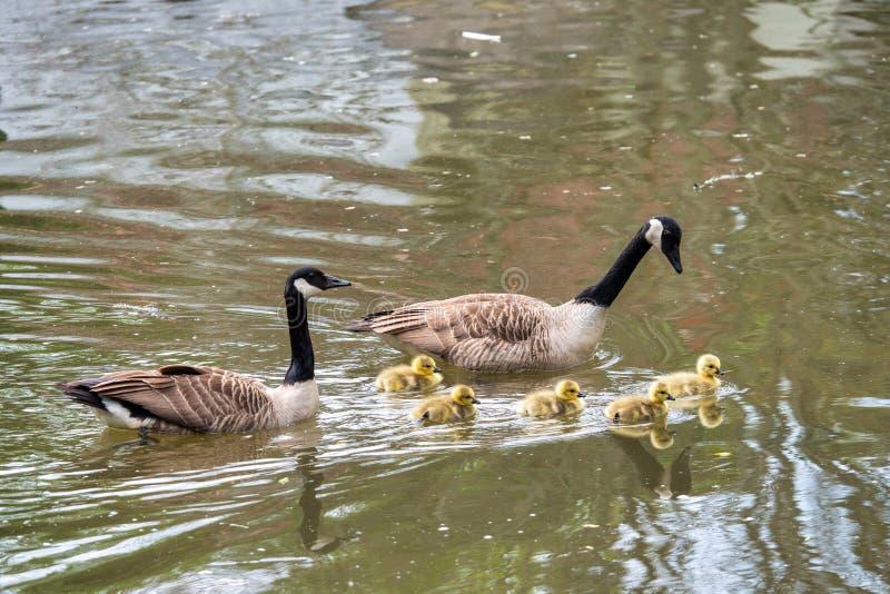 加拿大新生小鹅 免版税库存图片