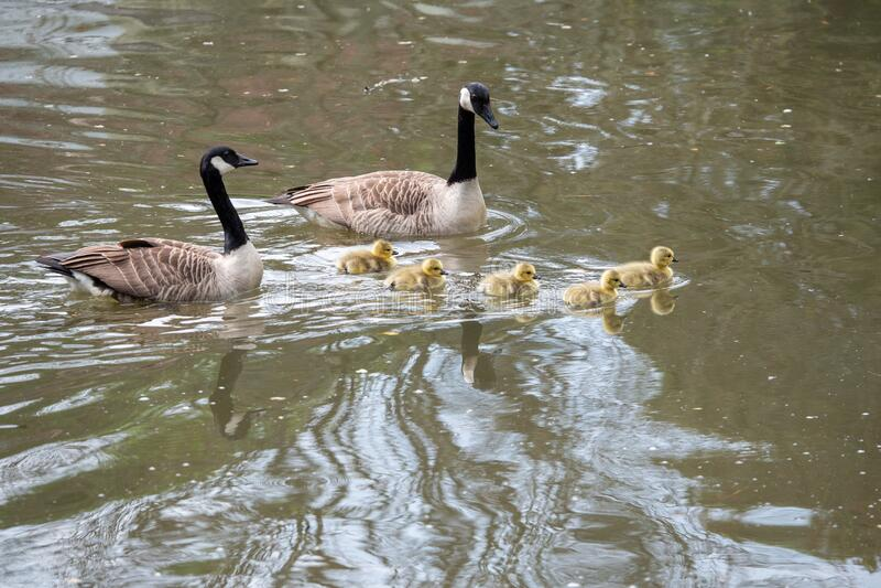 加拿大新生小鹅 免版税库存照片