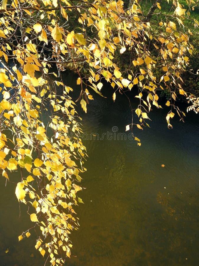 加拿大桦在河,立陶宛附近的树枝 免版税库存照片