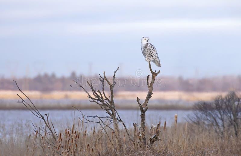 加拿大渥太华冬日夕阳下,雪鸮 免版税库存照片