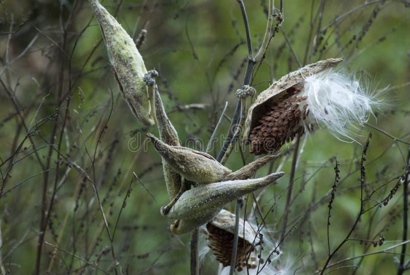 加拿大渥太华森林中一朵乳草芽的美丽照片 免版税库存照片