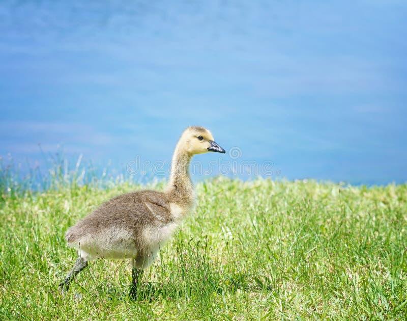 加拿大漫步在草的鹅幼鹅 免版税库存图片