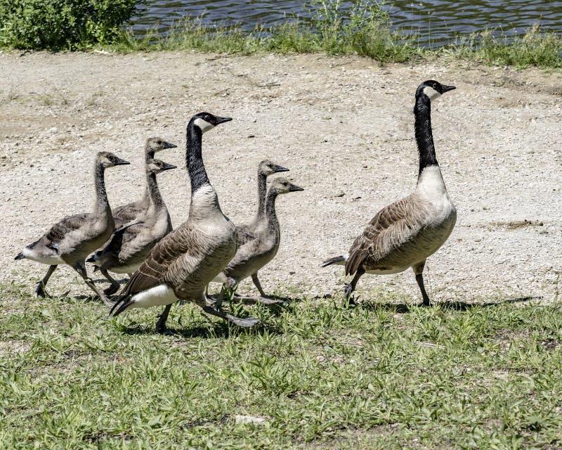 加拿大的鹅家庭走出去 免版税库存图片