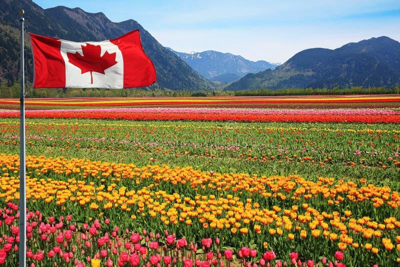 加拿大郁金香领域 库存照片