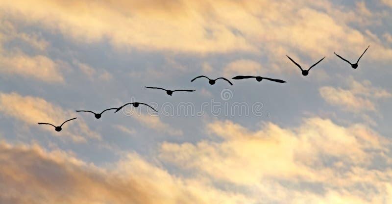 加拿大飞行鹅剪影日落 免版税库存图片