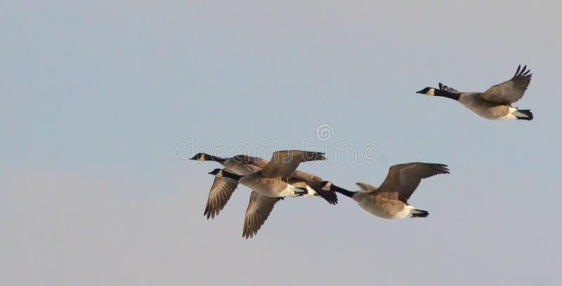 加拿大飞行鹅 库存图片
