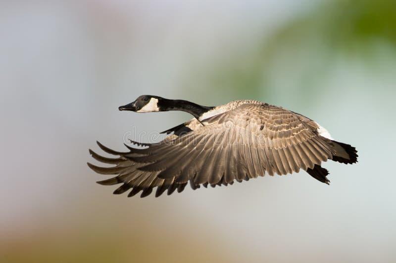 加拿大飞行鹅 免版税库存图片