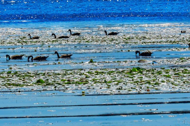 加拿大鹅华盛顿湖反射Juanita海湾公园Kirkla 库存照片