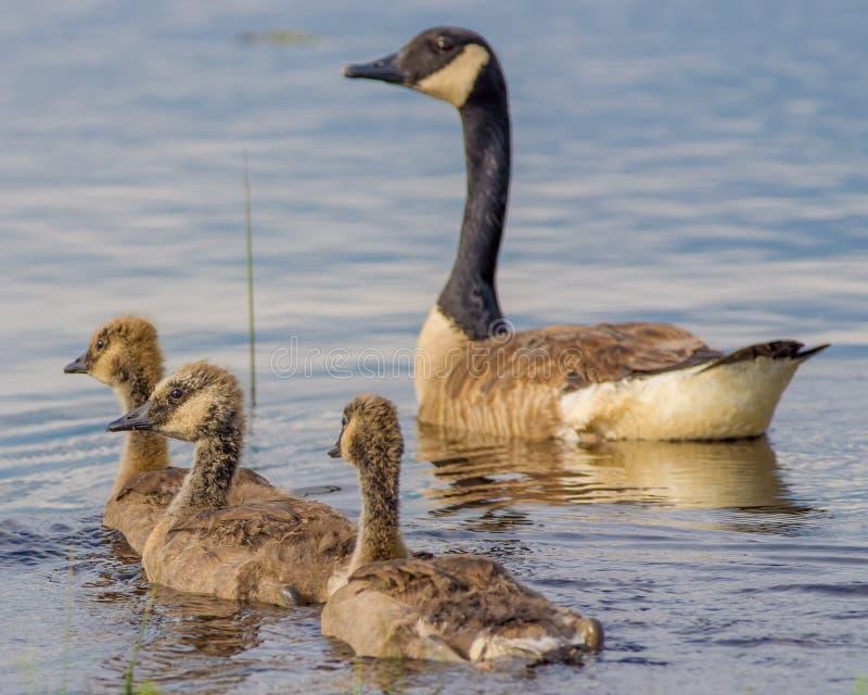加拿大鹅和三只幼鹅-春天在Crex草甸野生生物地区在威斯康辛北部 库存照片