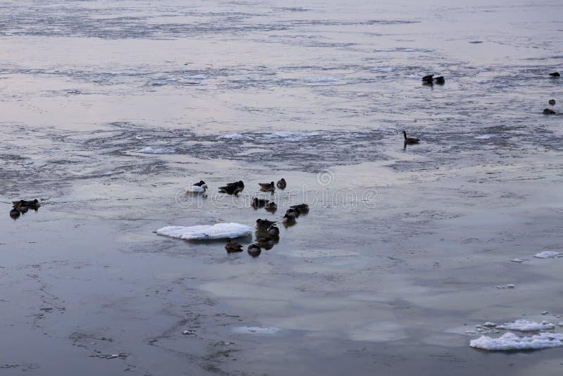 加拿大鹅和漂浮在圣劳伦斯河的两三只雪雁 库存照片