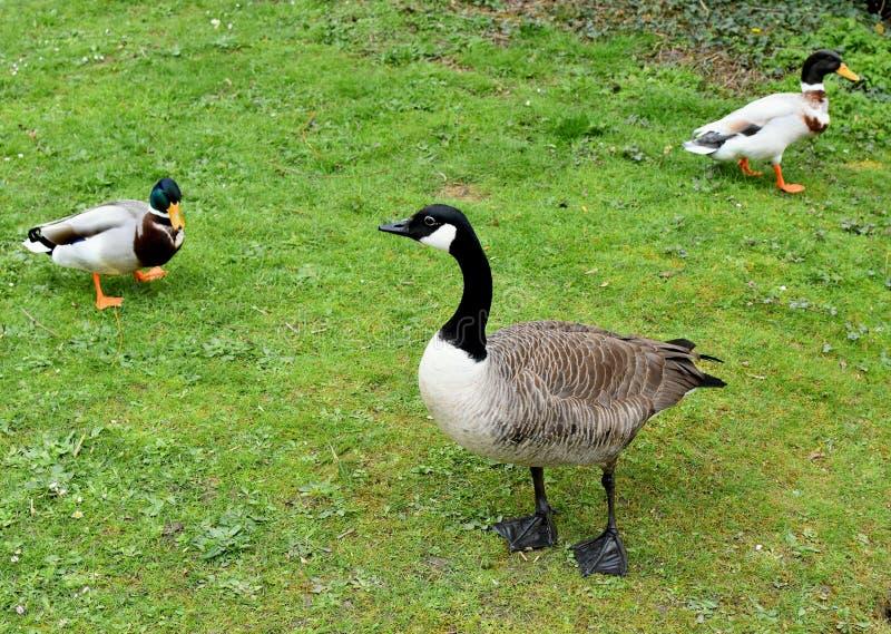 加拿大鹅和野鸭 在一个绿色草甸 库存图片