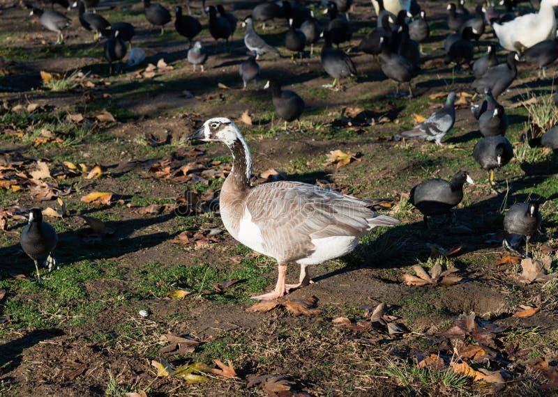 加拿大鹅和graylag杂种在湖巴波亚公园在洛杉矶 库存照片