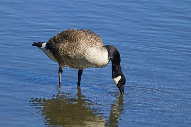 加拿大鹅喝 免版税库存图片