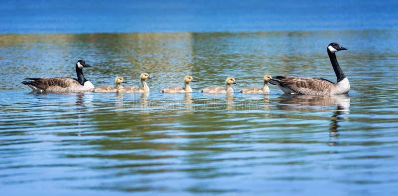 加拿大鹅在大海的家庭游泳 库存图片