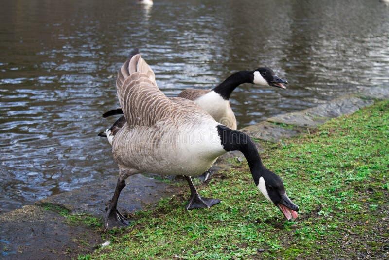 加拿大鹅夫妇  免版税库存照片