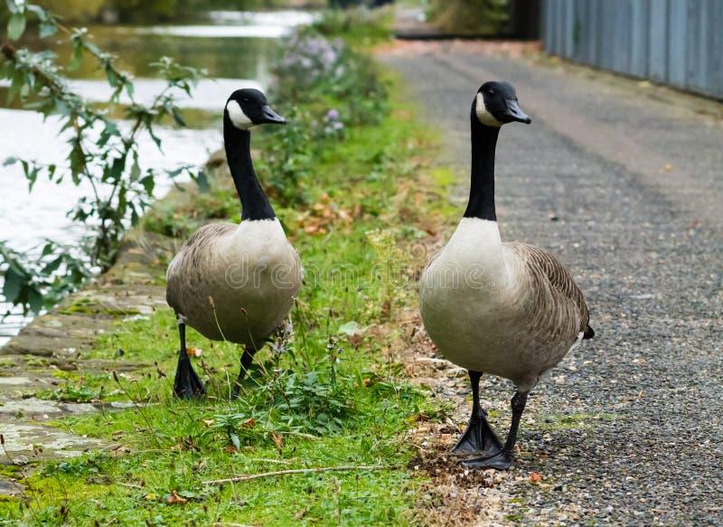 加拿大鹅夫妇 免版税库存图片