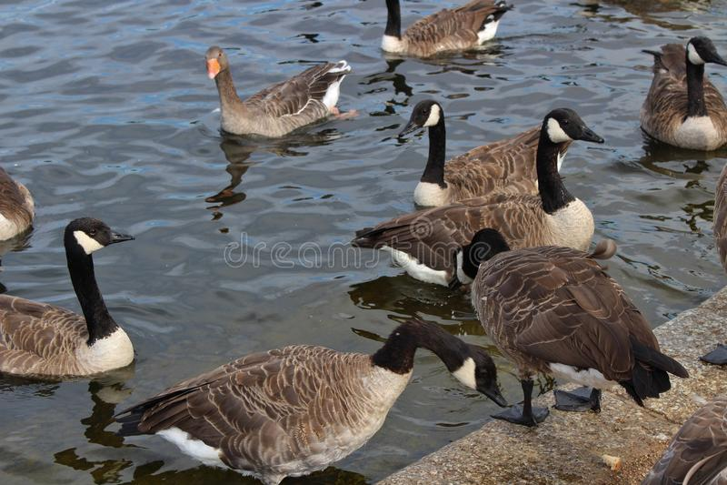加拿大鹅安大略渥太华 库存图片