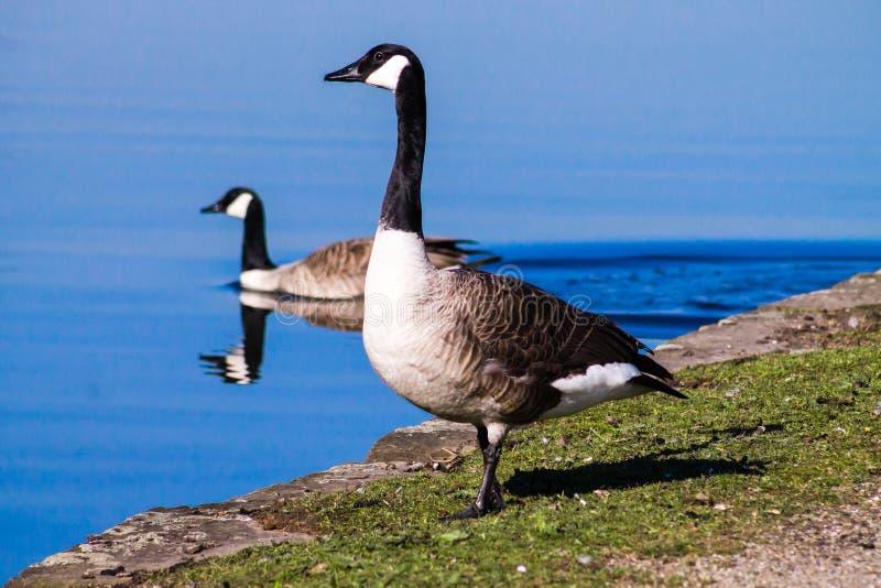 加拿大鹅安大略渥太华 图库摄影