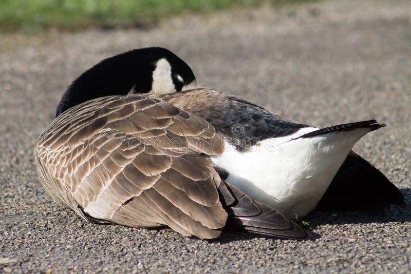 加拿大鹅安大略渥太华 免版税库存图片