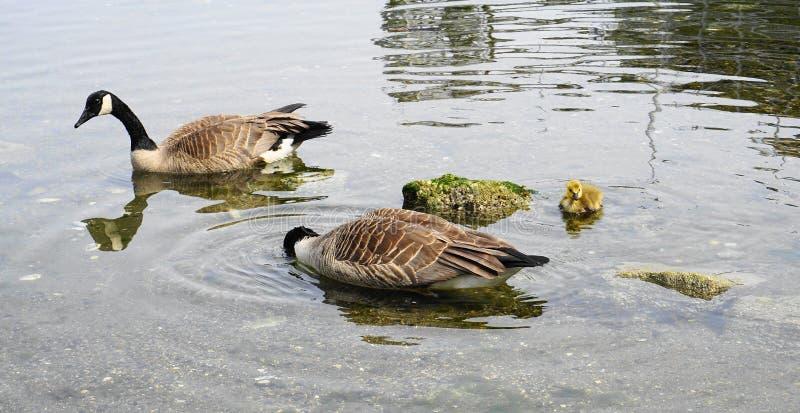 加拿大鹅家庭用与黄色全身羽毛游泳的年轻幼鹅在水关闭 库存照片