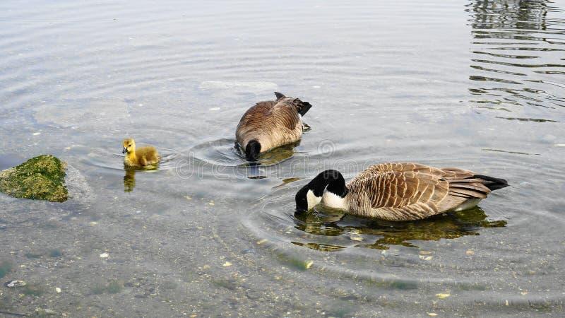 加拿大鹅家庭用与黄色全身羽毛游泳的年轻幼鹅在水关闭 图库摄影