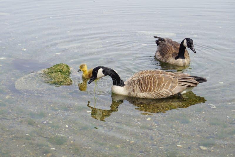 加拿大鹅家庭用与黄色全身羽毛游泳的年轻幼鹅在水关闭 免版税库存照片