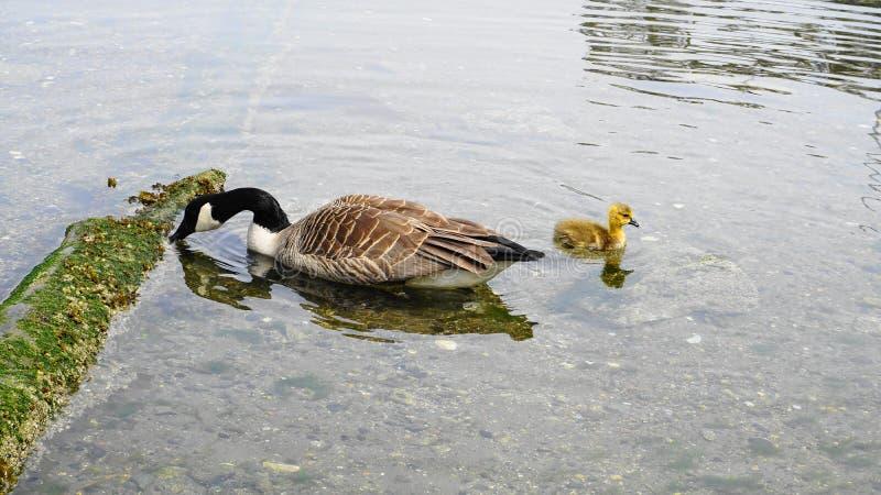 加拿大鹅家庭用与黄色全身羽毛游泳的年轻幼鹅在水关闭 免版税库存图片
