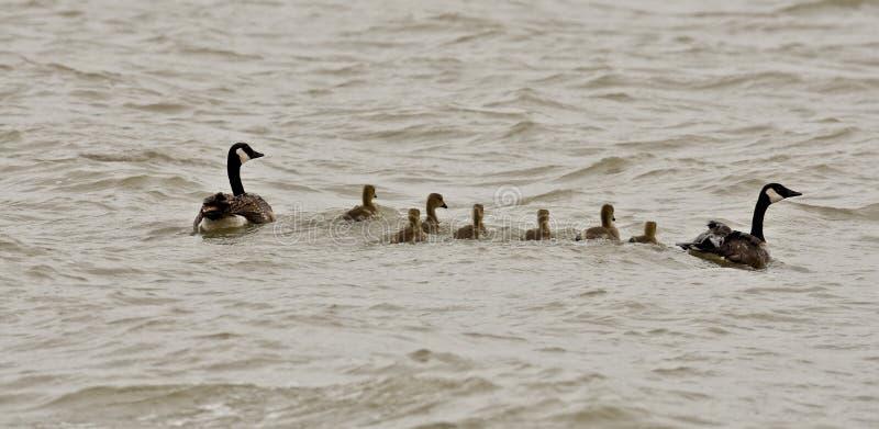 加拿大鹅家庭 免版税库存照片