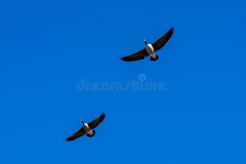 加拿大鹅对 免版税图库摄影