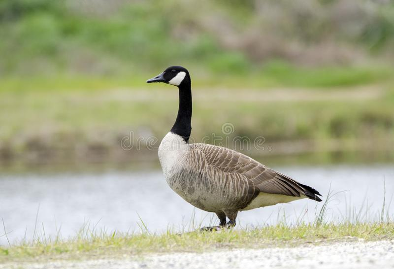 加拿大鹅巢季节,沃尔顿县, GA 免版税库存图片