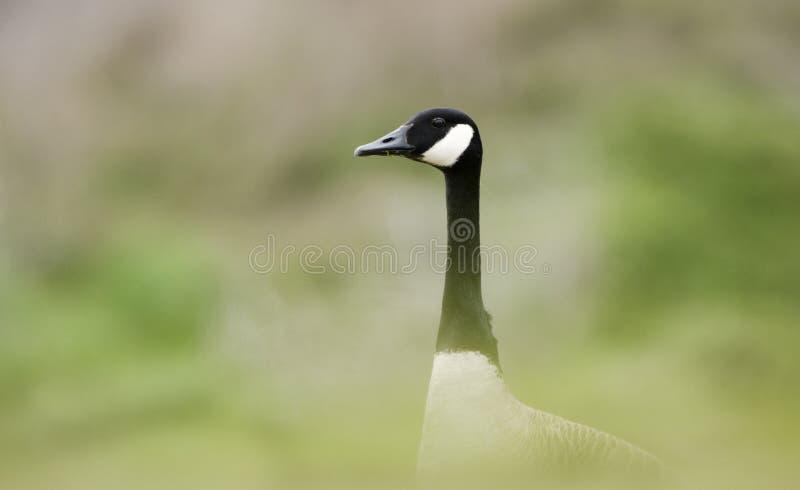 加拿大鹅巢季节,沃尔顿县, GA 库存图片