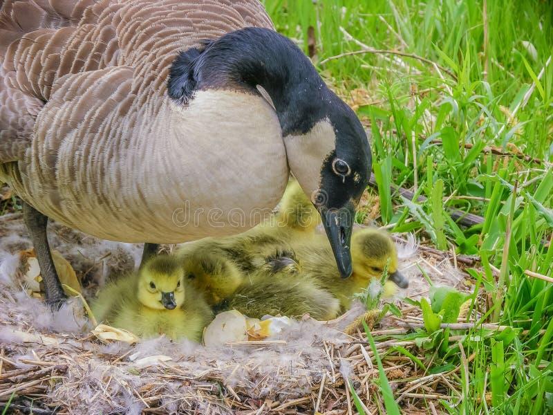 加拿大鹅巢 库存照片