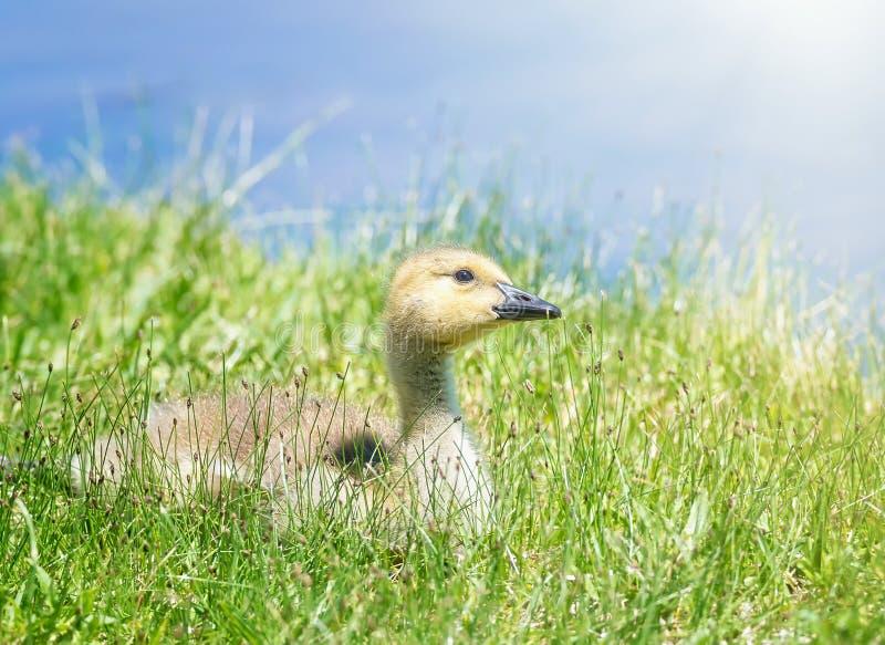 加拿大鹅幼鹅坐草 图库摄影