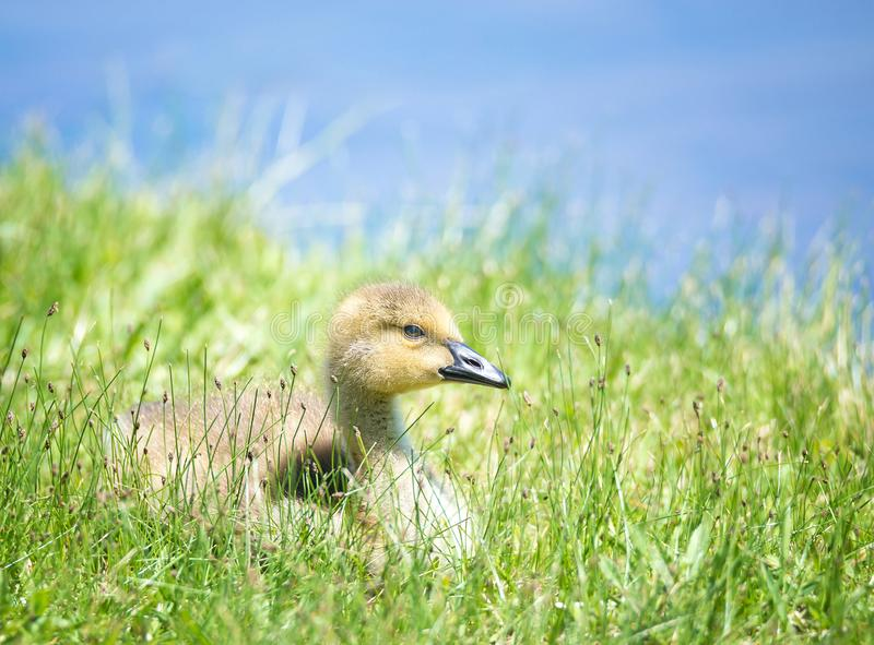 加拿大鹅幼鹅坐草 免版税库存照片