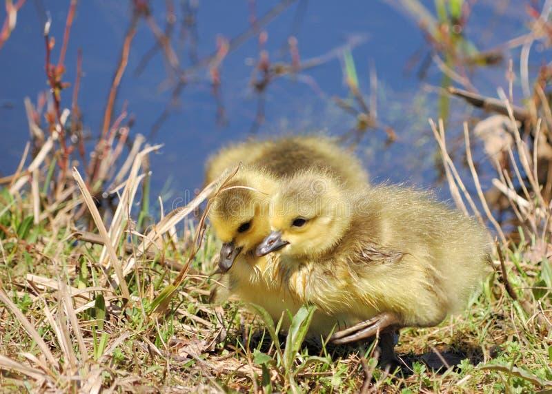 加拿大鹅幼鹅 免版税库存图片