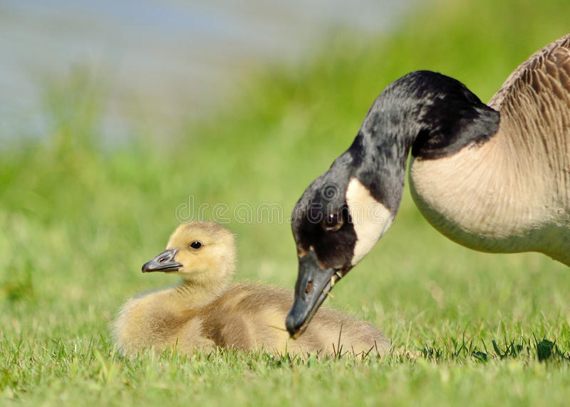 加拿大鹅幼鹅 免版税库存照片