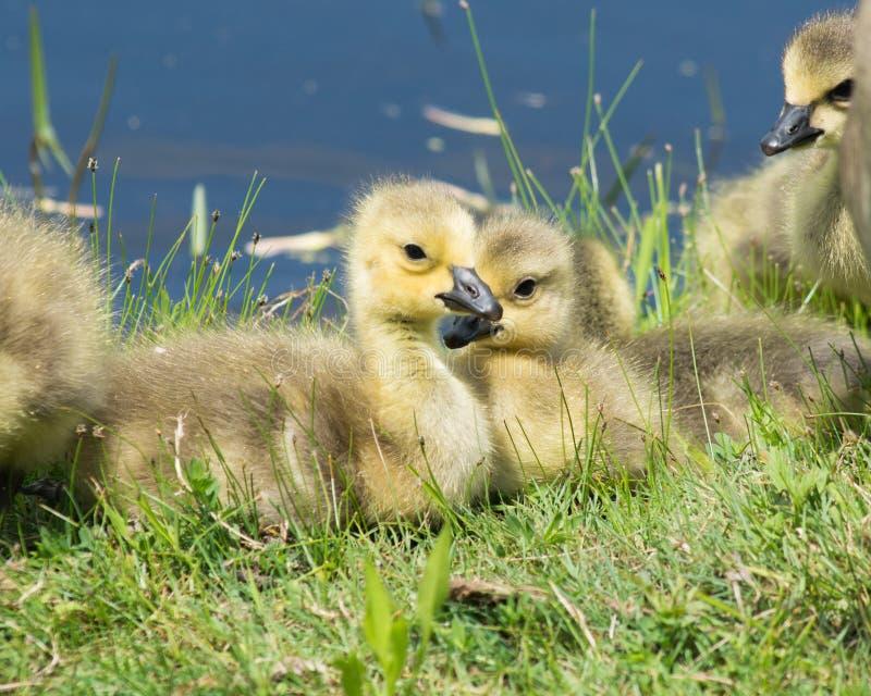 加拿大鹅幼鹅 库存图片
