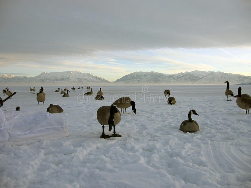 加拿大鹅搜索 图库摄影