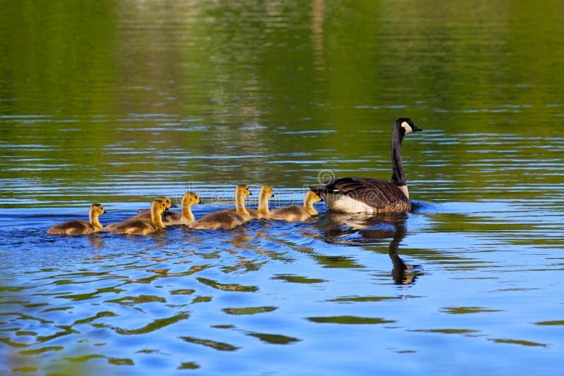 加拿大鹅春天 免版税图库摄影