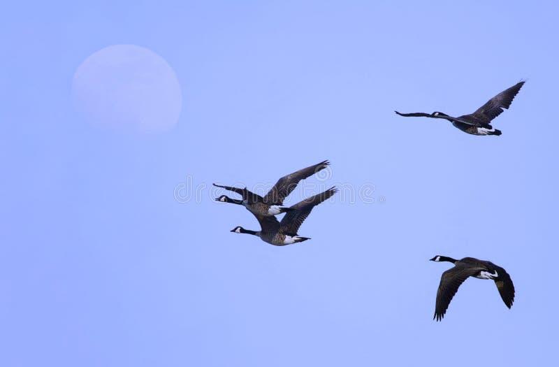 加拿大鹅朦胧的早晨飞行 库存照片