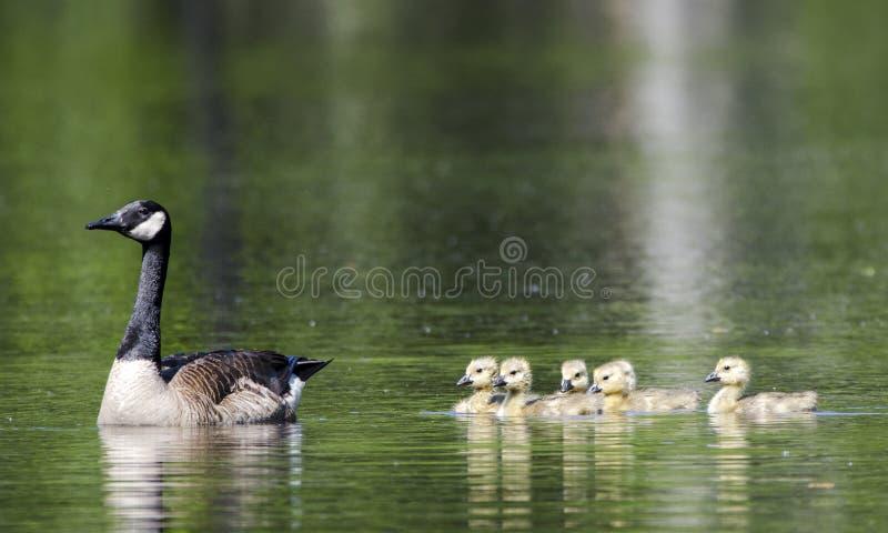 加拿大鹅母亲和婴孩幼鹅,沃尔顿县, GA 免版税图库摄影