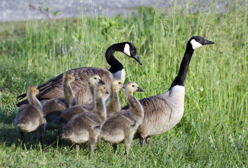 加拿大鹅父母和婴孩幼鹅,乔治亚,美国 库存照片