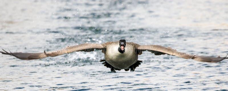 加拿大鹅着陆水 免版税库存图片