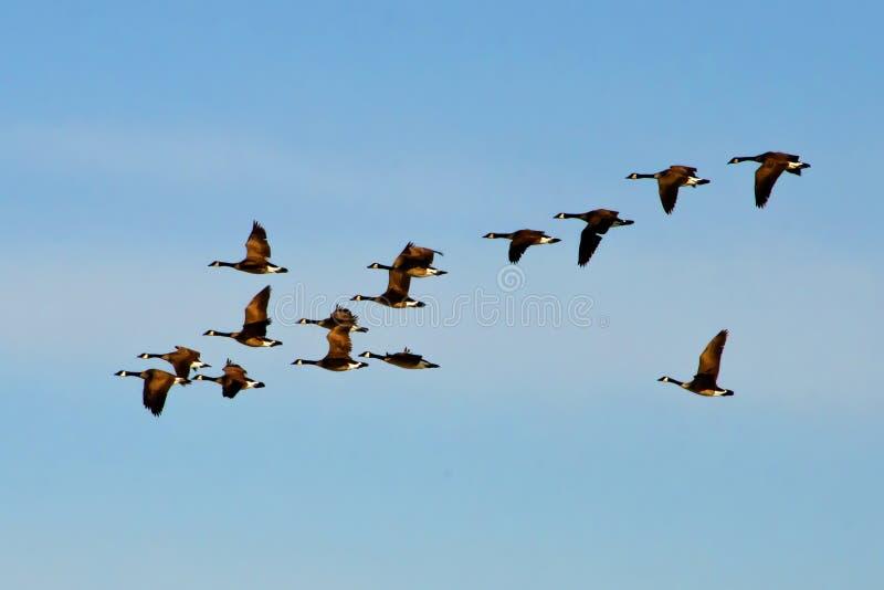 加拿大鹅群飞行 库存照片