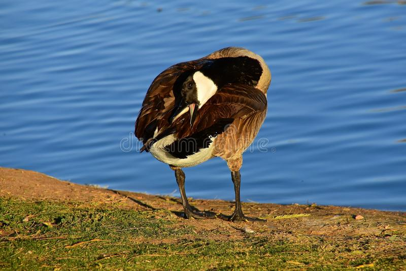 加拿大鹅自夸 免版税库存图片
