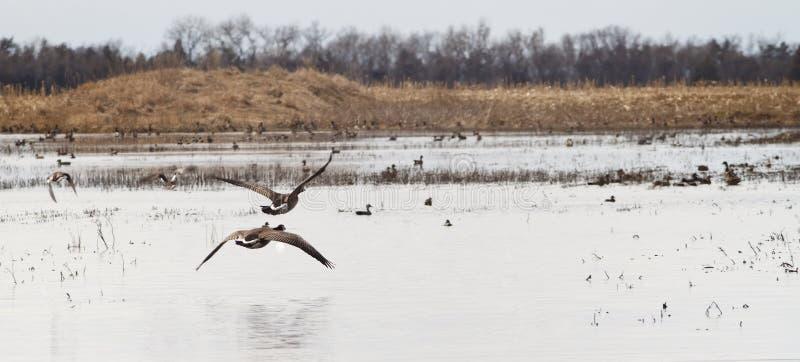 加拿大鹅采取横跨南达科他沼泽地的飞行 库存照片