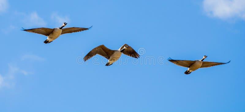 加拿大鹅飞行三重奏在蓝天和白色云彩下 免版税库存照片
