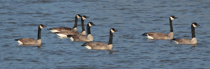 加拿大鹅 免版税库存照片